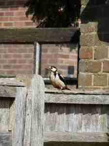 woodpecker roofing problem damage
