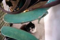 Greek Isle cat