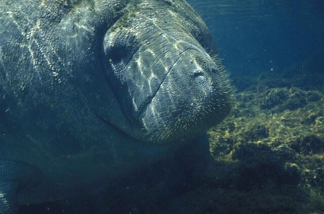 Endangered Animals: Manatee