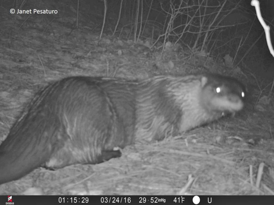 Trail camera video of rivers otters scent marking, scatting, and grooming.