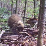 How does an animal covered with long quills manage to groom? This rare game camera video footage shows a wild porcupine grooming and napping.
