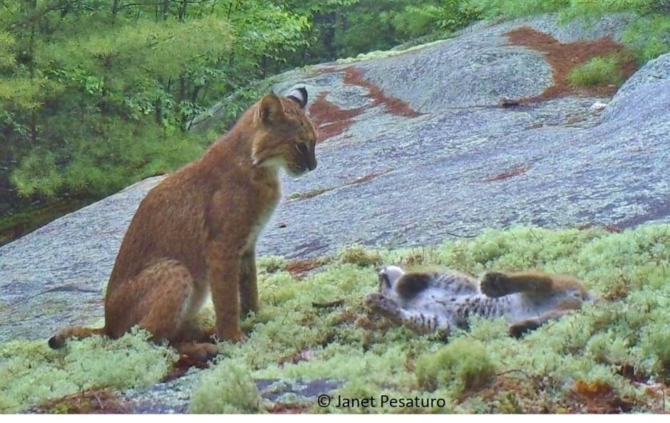 Trail cam videos of a bobcat mother & kitten bobcats playing. Learn how the site was selected for camera trapping so you can target bobcat with your camera.