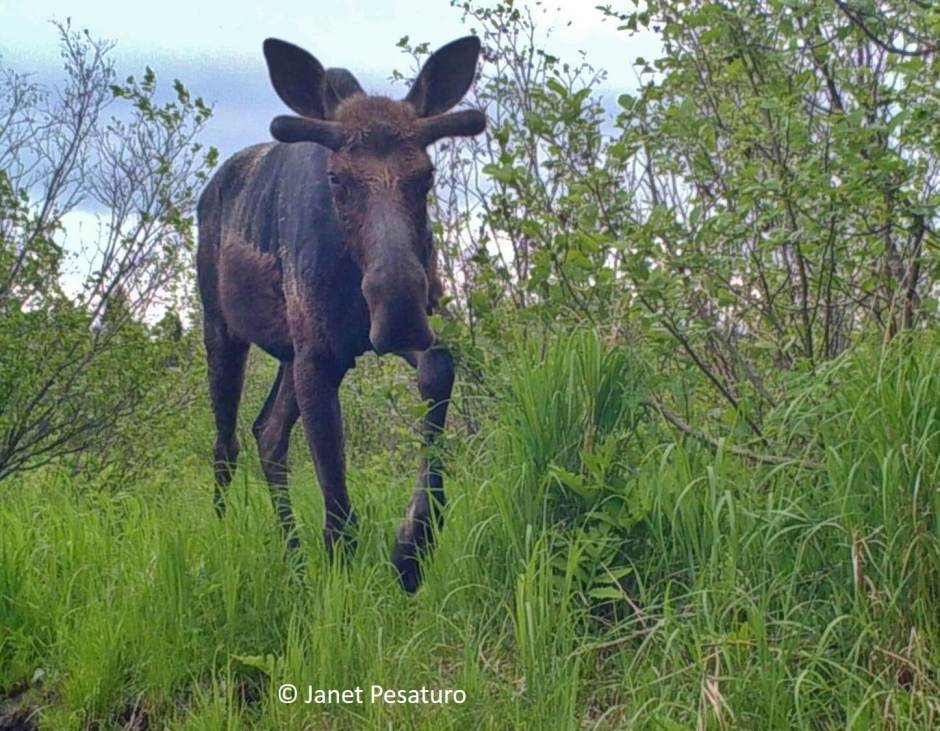 Aquatic vegetation is an important part of the moose's summer diet. Trail camera photos and videos of moose foraging in wetlands in summer.