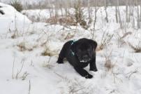 Black Lab Puppy For Sale