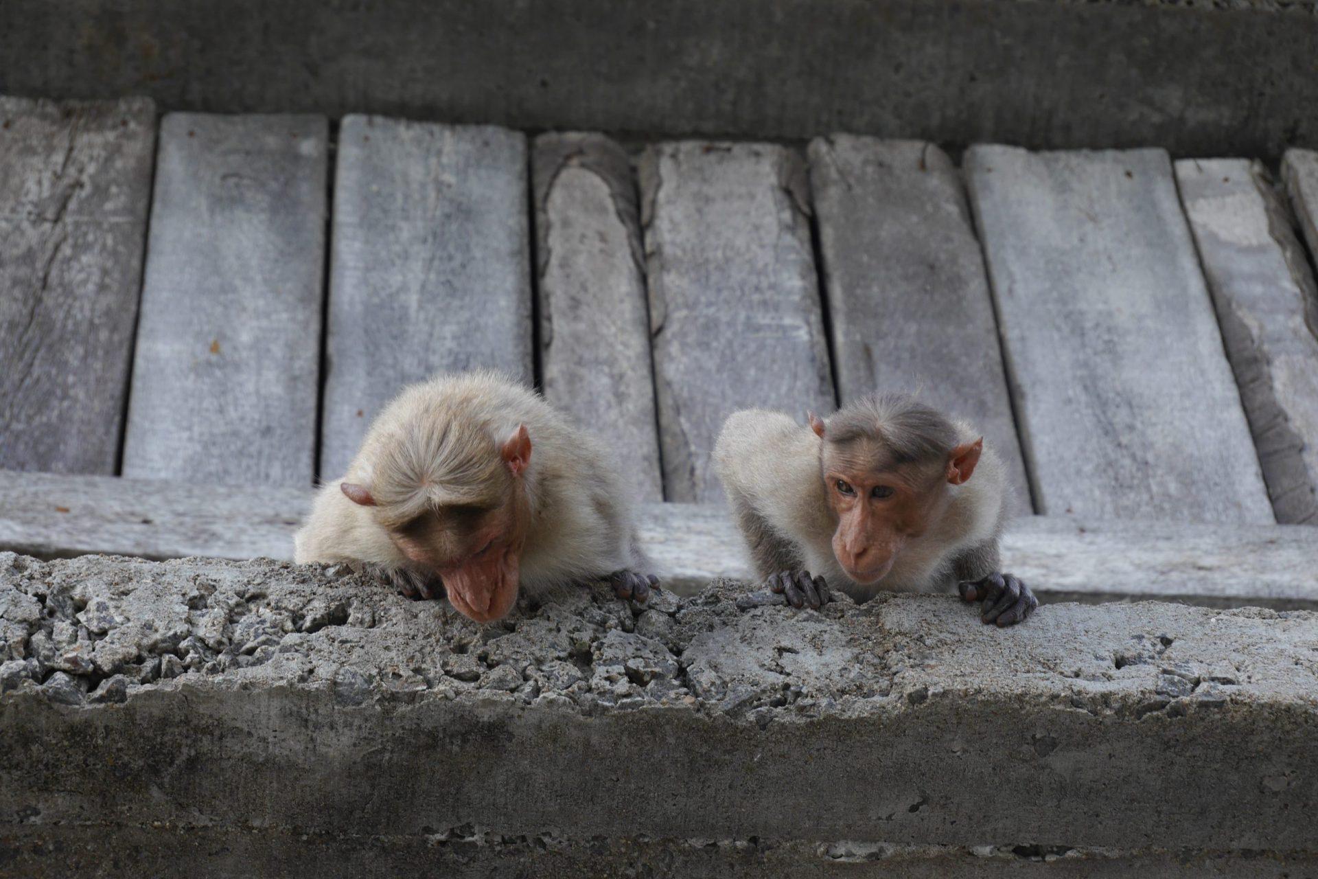 <span class='p-name'>Monkeys Throwing Feces</span>