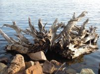 Big Eau Pleine reservoir has a lot of old tree roots along its banks