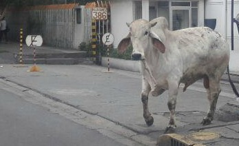 Toro suelto en Iztapalapa