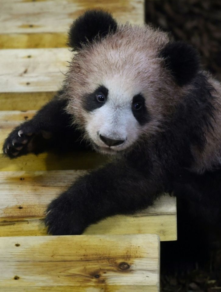 Primer bebé panda de Francia hace su primera aparición pública 82e6e6026d250657ce57314ebebc2cefc6f12e49.jpg_2127859986