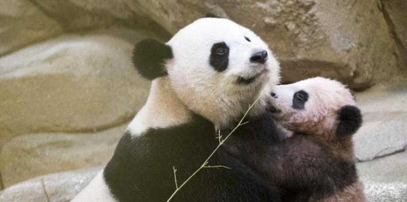 Primer bebé panda de Francia hace su primera aparición pública ap18013518564914