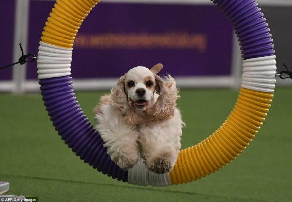Galería Westminster Kennel Club Dog Show 49133F0A00000578-5376811-image-a-32_1518304258142-600x415