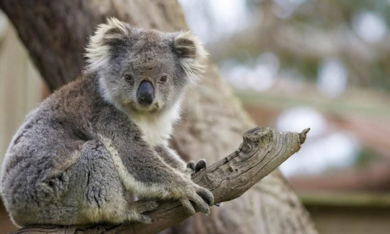 Para su conservación un koala viajó en un avión a Escocia koala-viaj%C3%B3-en-un-avi%C3%B3n-3