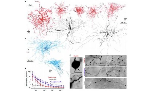 Descubren nuevo tipo de neurona humana se desconoce su función nuevo-tipo-de-neurona-humana-03-600x360