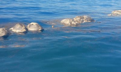 300 tortugas muertas