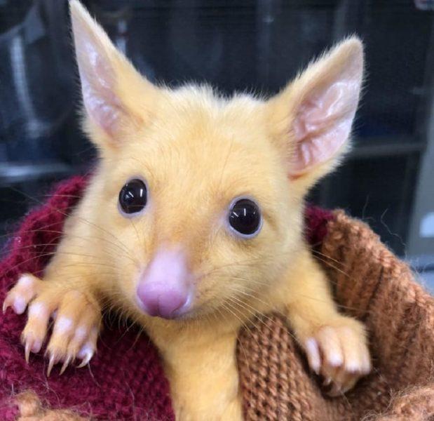 Descubren zarigüeya en Australia: ¿Pikachu en la vida real? DtfjeF1WoAAgaTU