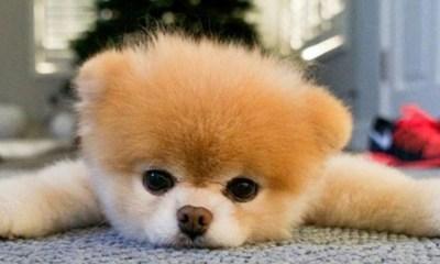 Murió el perrito más famosos de internet
