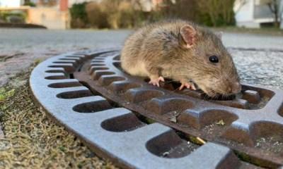Rata quedó atrapada en alcantarilla