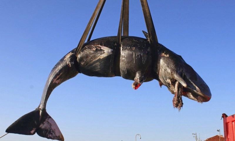 Encuentran una ballena muerta con mucho plástico en su interior ballena-muerta-con-mucho-pl%C3%A1stico-en-su-interior-2