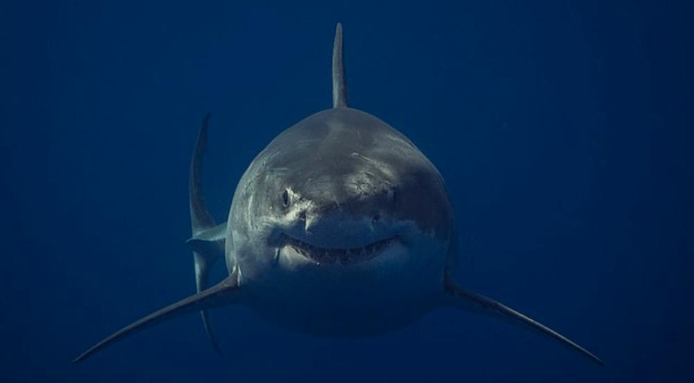 Jaws de la vida real: captura la imagen de un gran tiburón blanco Captura-de-pantalla-2019-05-03-a-las-17.52.41