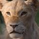 nuevo teaser trailer de 'The Lion King'