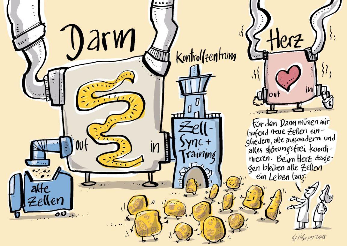 wissenschaftlicher cartoon darm und herzzellen