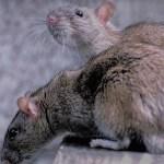 Bekämpfung der Ratten in Völklingen