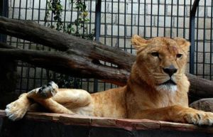 Mexico City Lion
