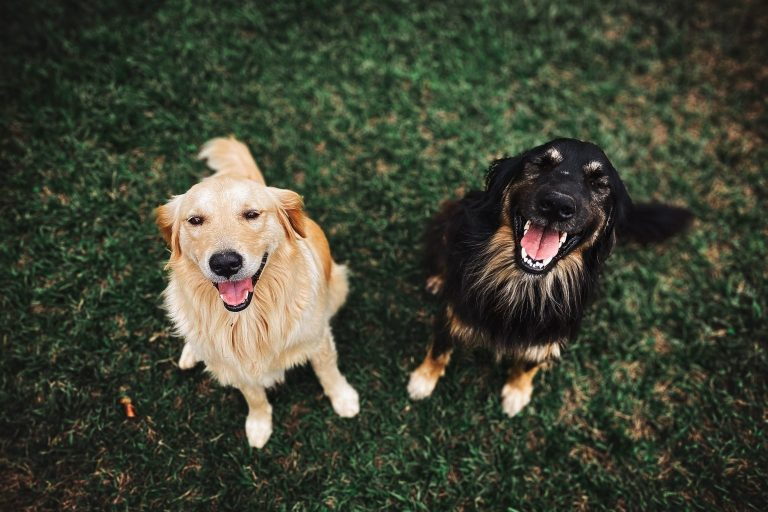 What You Basically Need to Know in Adult Dog Training