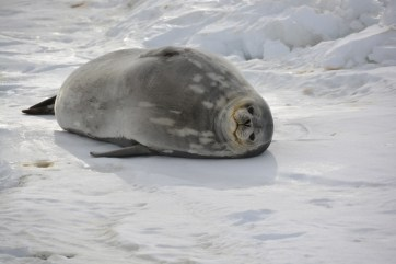 A chubby Weddell seal basking on the sea ice near Jang Bogo Station (D.Mueller)