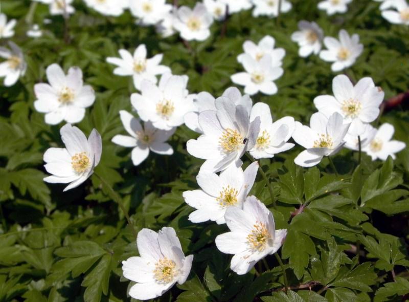 Blumen im Nationalpark Jasmund