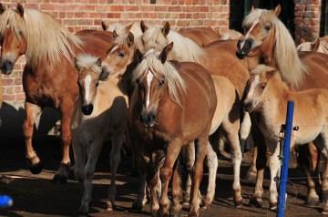 Blondinen bevorzugt  – Die Haflinger von Ummanz