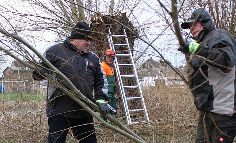 Pflege der Kopfweiden im Biosphärenreservat Südost-Rügen