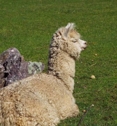 alpaca foal 2
