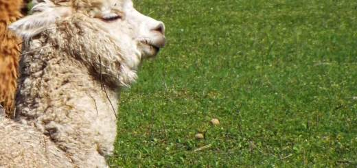 alpaca foal