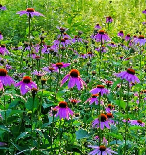 pink flowers in field