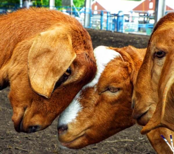 three-goats