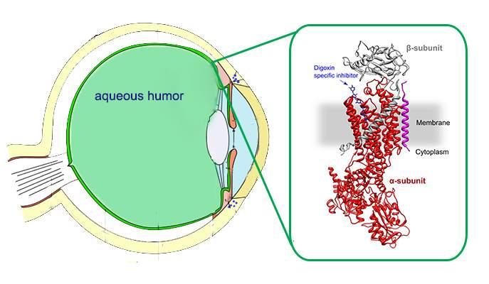 Aqueous Humor American Academy Of Ophthalmology