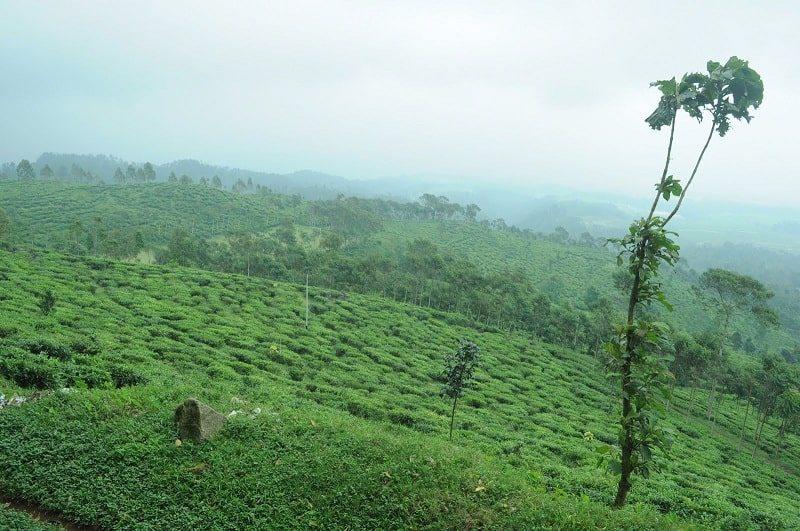 Gambar Kebun Teh Jamus Ngawi Perusahaan Perkebunan Teh Swasta Di Jawa Timur Farah Noviarahma Purwoko