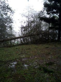 pohon tumbang akibat cuaca ekstrim di buper mandalawangi cibodas