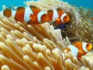 taman bawah laut pulau pahawang besar, taman nemo pulau pahawang, ikan nemo pulau pahawang
