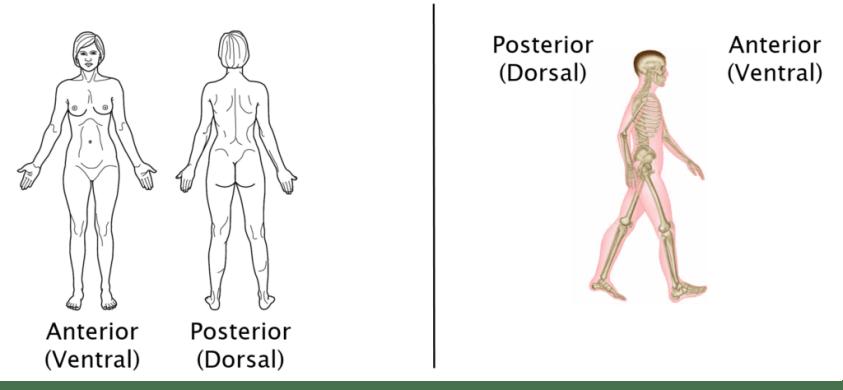 Anatomical Terminology - Anatomy 622 Coursebook