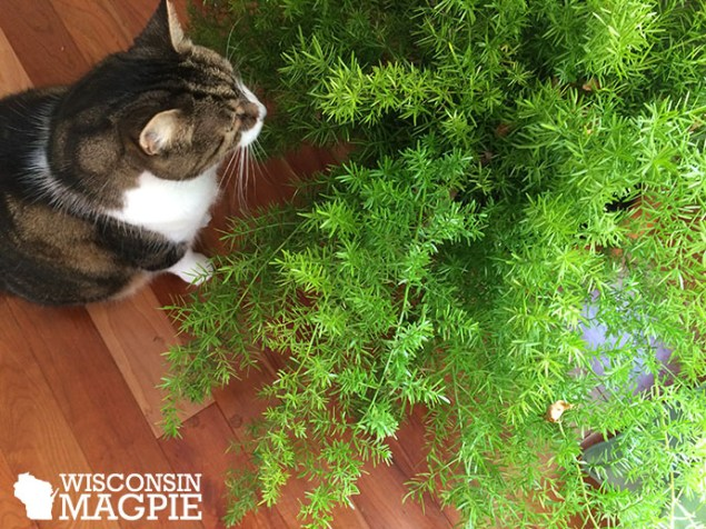 cat with asparagus fern