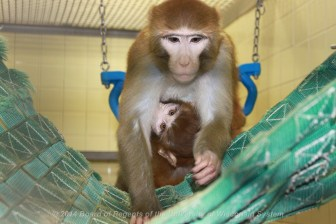 """As part of the study on the effect of early adversity on the brain by psychiatrist Dr. Ned Kalin, infant monkeys who are peer-housed within the nursery at the University of Wisconsin-Madison are moved regularly to this """"play cage"""" equipped with swings and puzzles."""