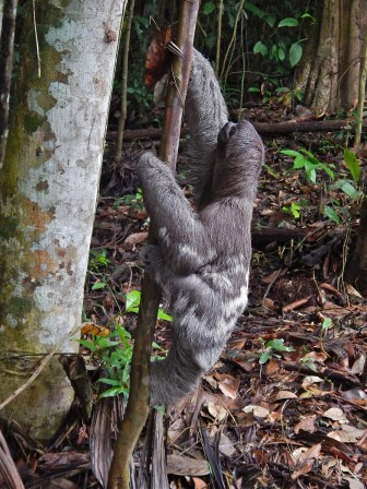 This three-toed sloth was returned to the wild in March at the Cuyabeno Wildlife Refuge in Ecuador after it was discovered being kept illegally as a pet in nearby Lago Agrio. Wisconsin is one of just five U.S. states that allow residents to own almost any type of exotic animal as a pet, including sloths.