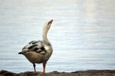 Existential goose.