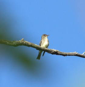 Olive-sided Flycatcher (Contopus cooperii)