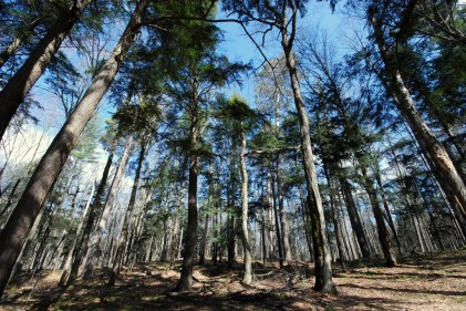 Giant White Pine Stand