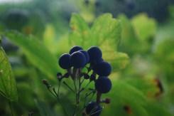 Blue Cohosh