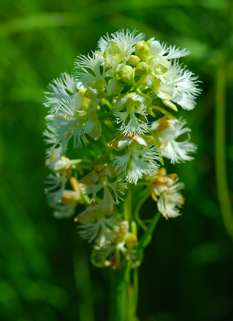 Eastern Prairie White-Fringed Orchid