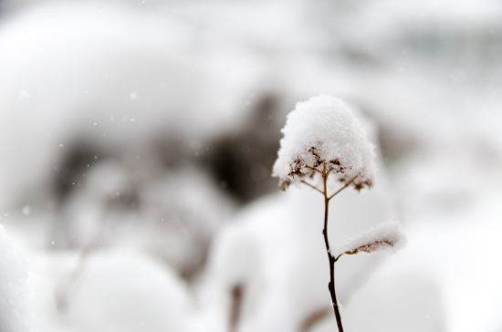 Weeds cleansed by driven white snow