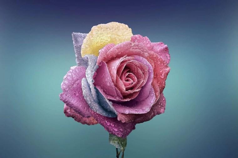 a rose in all its splendor
